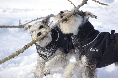 dogs playing in winter coats
