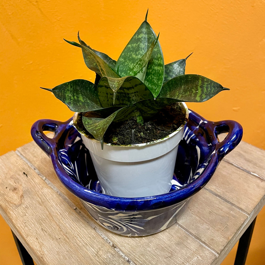 Sansevieria Trifasciata Snake Plant - Mother in Law Tongue Plant