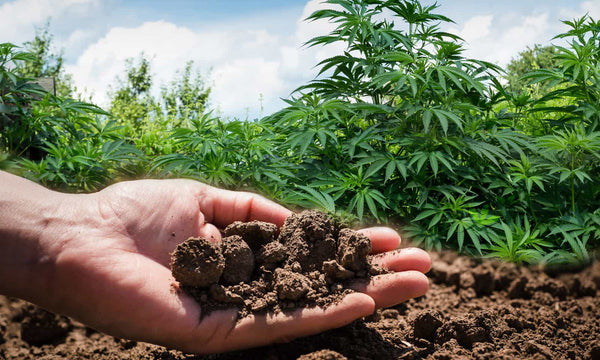 hemp was used to clean the soil in chernoby kanna cbd