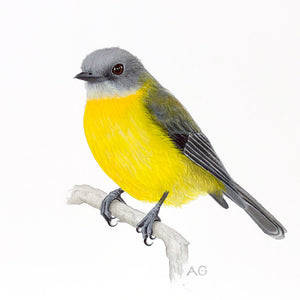 Original gouache and pencil artwork of an Eastern Yellow Robin by Amanda Gosse