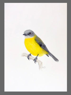 Original gouache and pencil painting of an Eastern Yellow Robin by Amanda Gosse