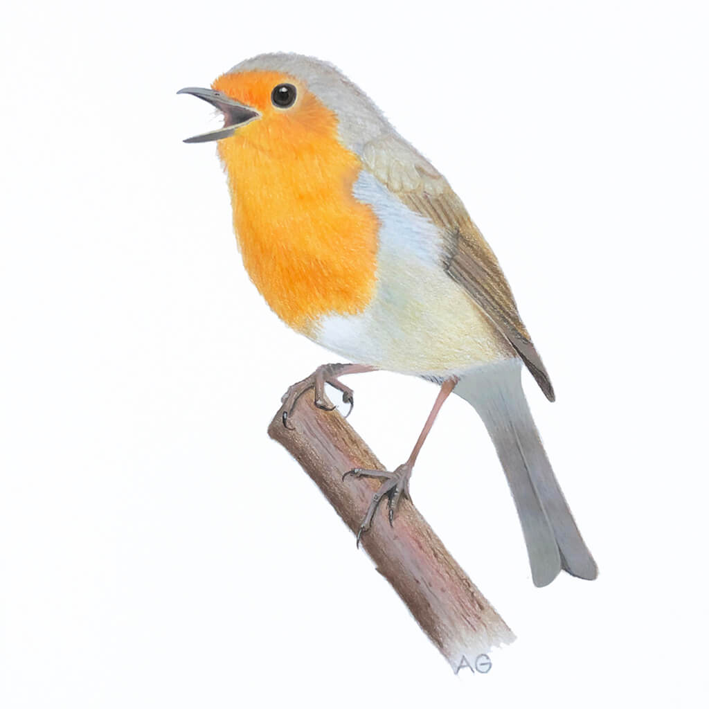 An original painting of a singing robin redbreast by artist Amanda Gosse