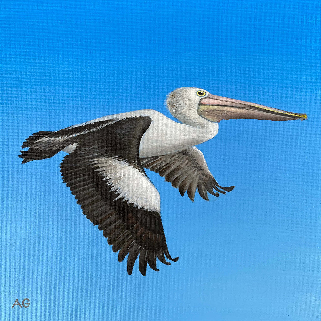 An original painting of an Australian pelican flying against a blue sky by Amanda Gosse