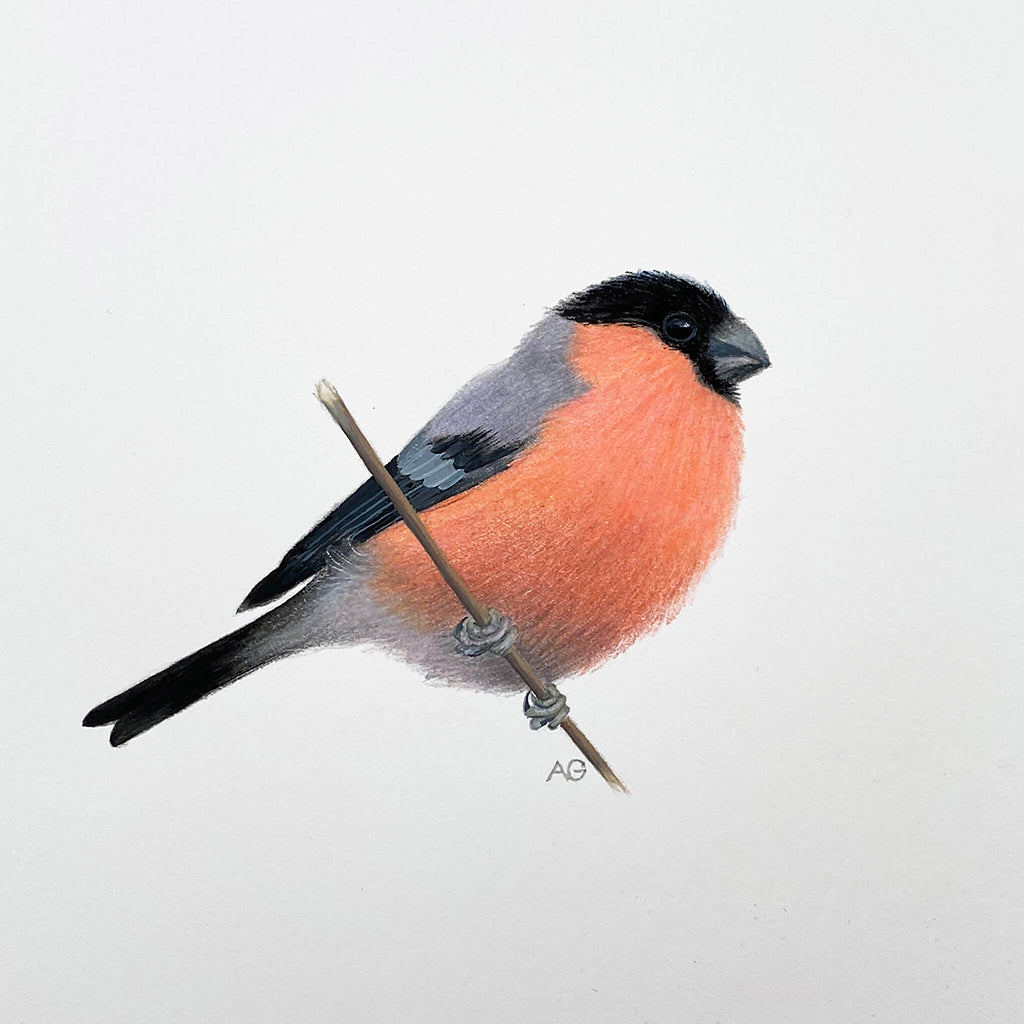 Original gouache and pencil artwork of a bullfinch bird by Amanda Gosse.