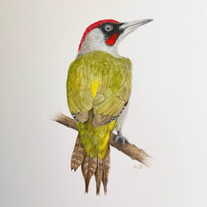 Green Woodpecker by Amanda Gosse Bird Artist