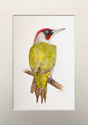 Green Woodpecker in White Mount by Amanda Gosse Bird Artist