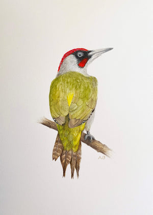 Green Woodpecker in No Mount by Amanda Gosse Bird Artist