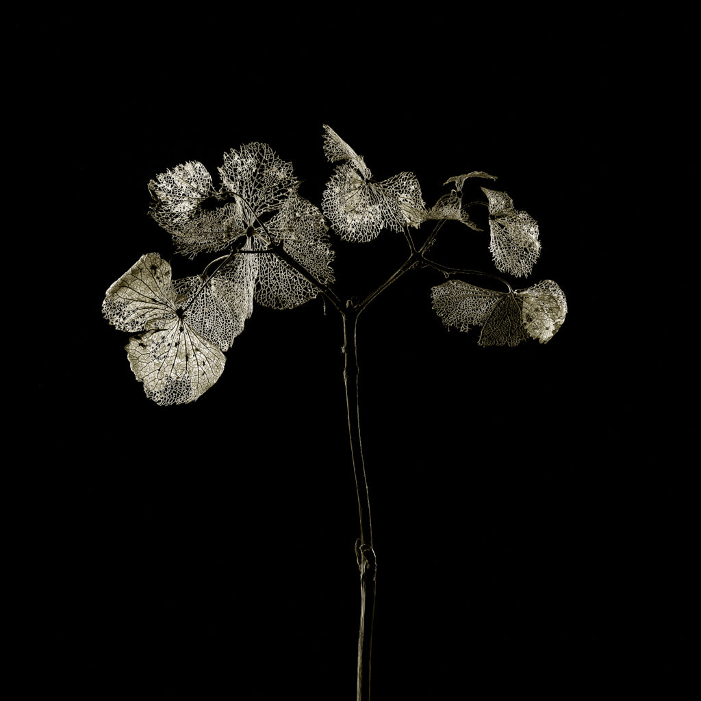Hydrangea on black photograph by Michael Frank