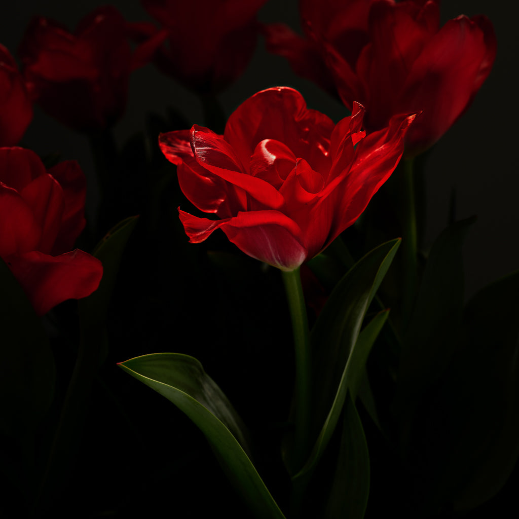Red Tulip photograph by Michael Frank
