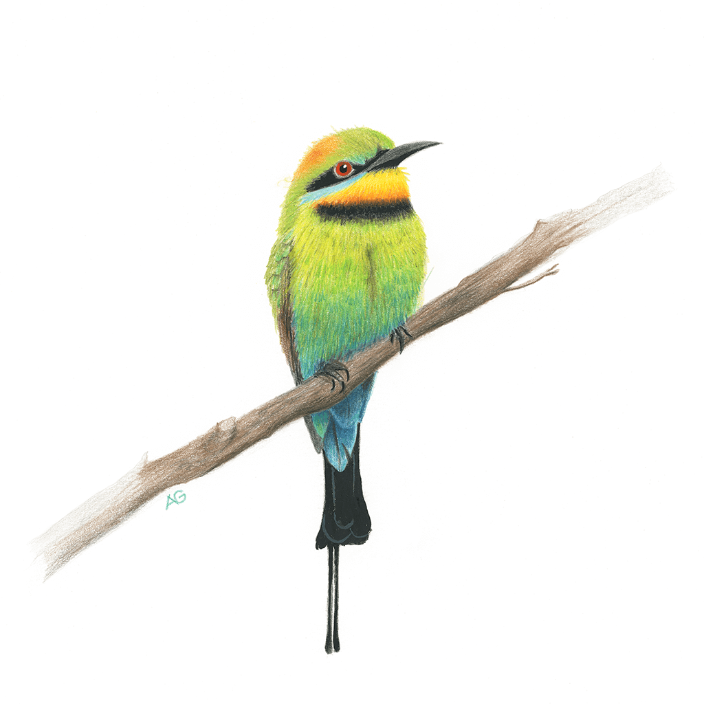 Original gouache painting of a rainbow bee-eater by Amanda Gosse