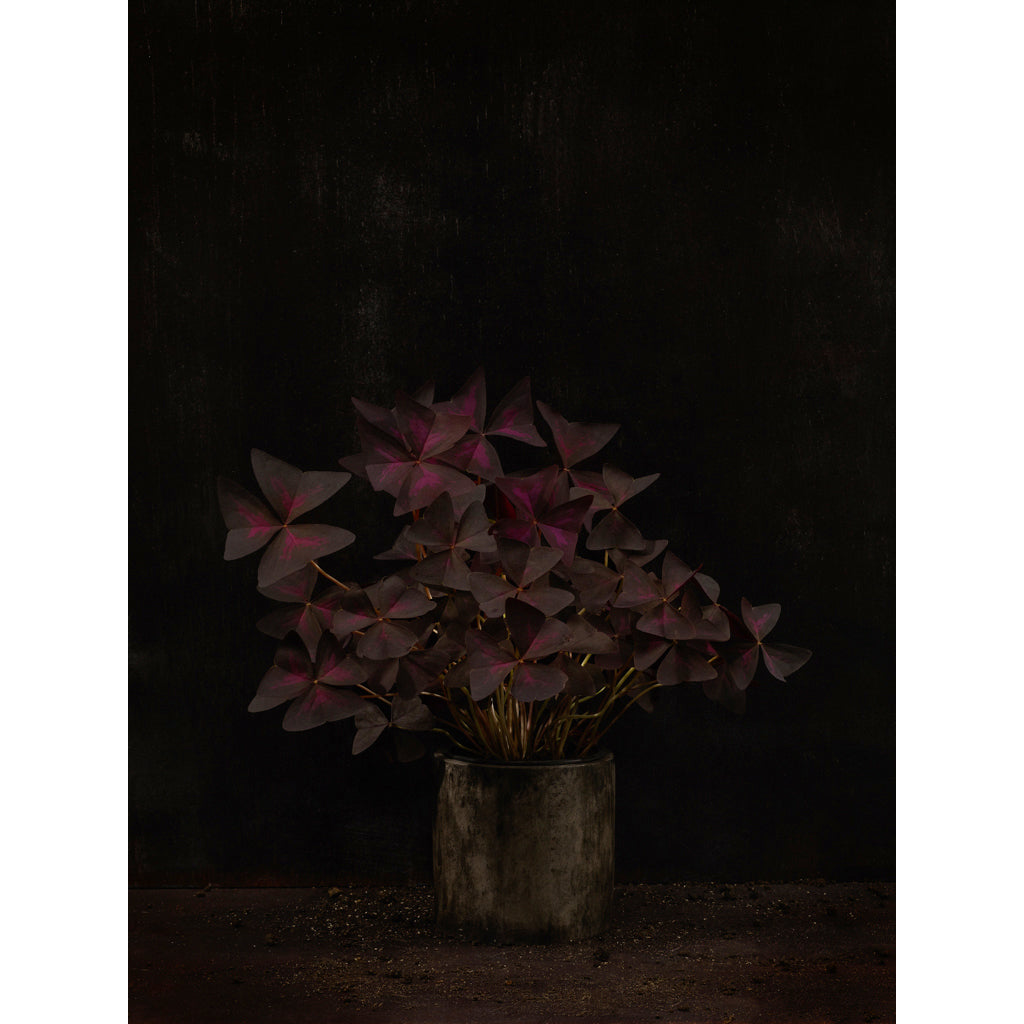 Dutch Masters 03 Oxalis Triangularis photograph by Michael Frank
