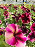 "4"" Petunia - Crazytunia 'Blackberry Cheesecake'"