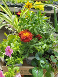 "CLEARANCE Assorted Tray of Annuals, 4"" x 15"