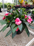 "10"" New Guinea Impatiens Hanging Baskets"