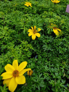"4"" Bidens ferulifolia 'Goldilocks Rocks'"