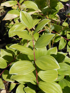 3 gal False Solomon's Seal