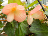 "10"" Begonia 'Waterfall Angel'"