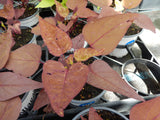 "4"" Sweet Potato Vine (Ornamental)"