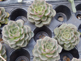 "2.5"" Bulk Assorted Selection of Succulents"