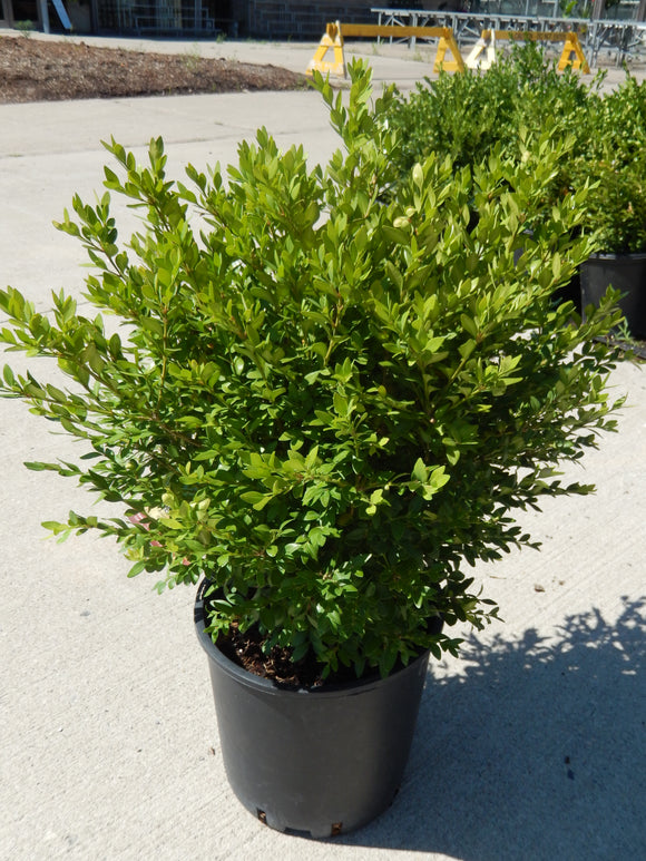 Littleleaf Boxwood Shrub - Various Sizes