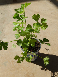 "4"" Flat Leaf Parsley"