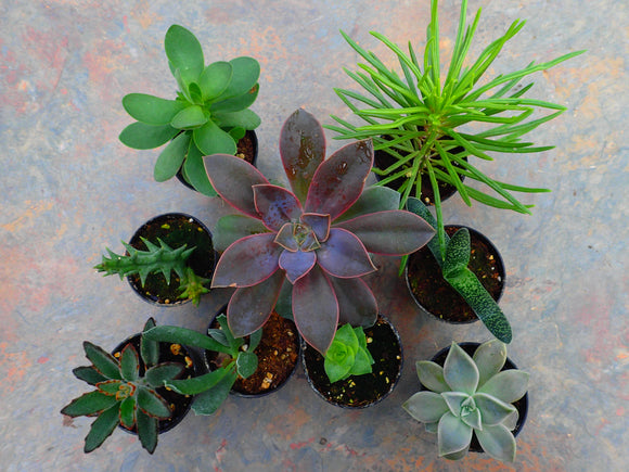 Mini Succulent Collection Deal