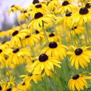 "4"" Coneflower 'Goldsturm'"