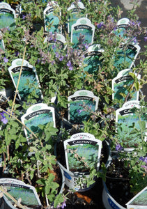 "1 gal "" Catmint 'Walkers Low'"