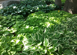 1 gal Hostas - Assorted Varieties, Small