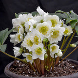 Hellebore 'Snowbells', various sizes