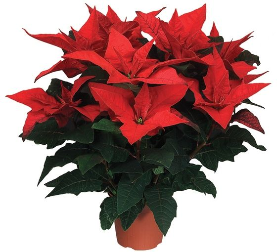 Poinsettia 'Jester Red'