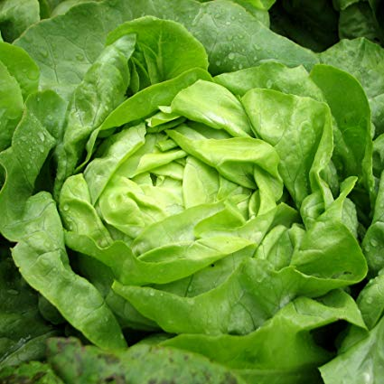 Hands-On Farm Lettuce Buttercrunch (Spray-Free) Head