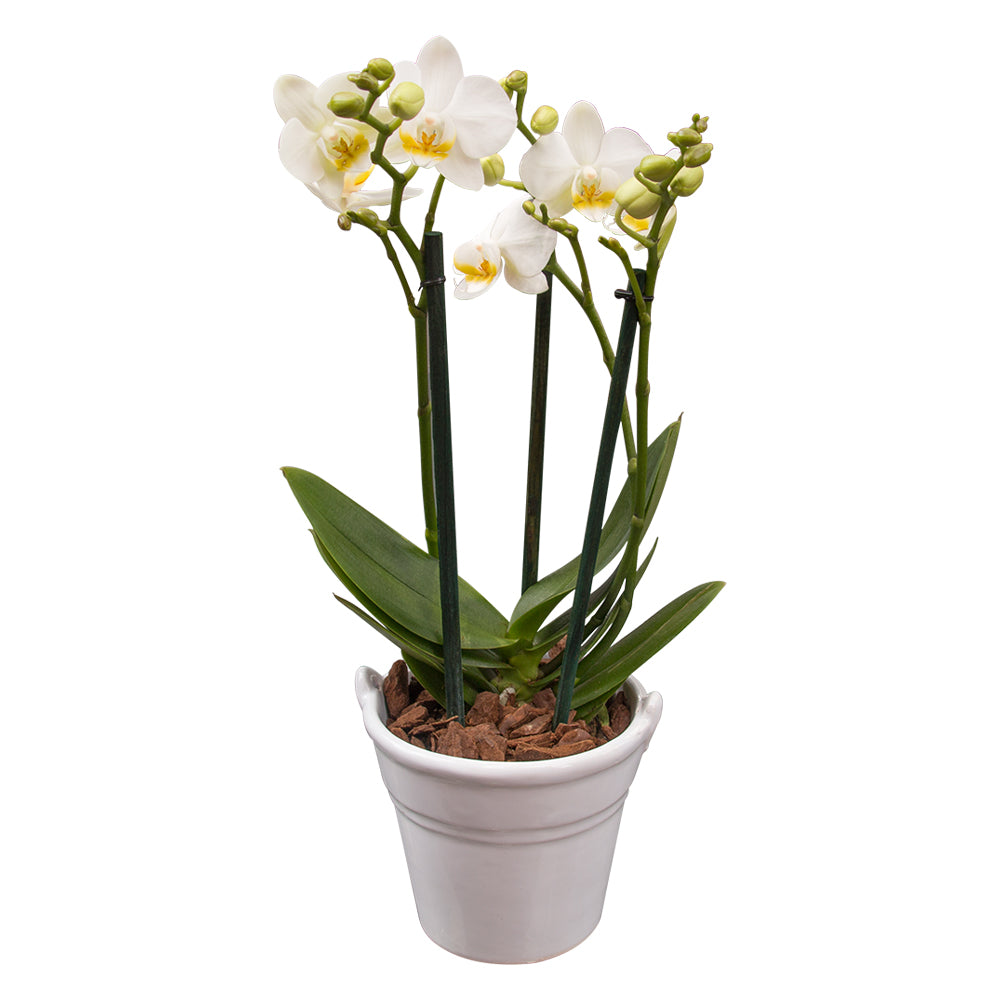 ORCHID MINI WHITE