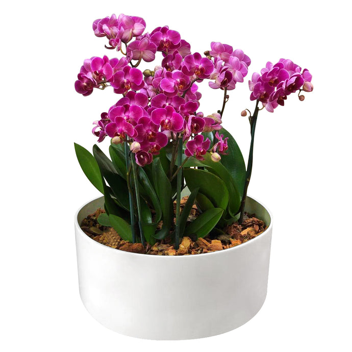 ORCHID GARDEN (PURPLE)