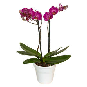 ORCHID MINI PURPLE