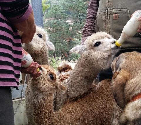 Bottle Feeding cria
