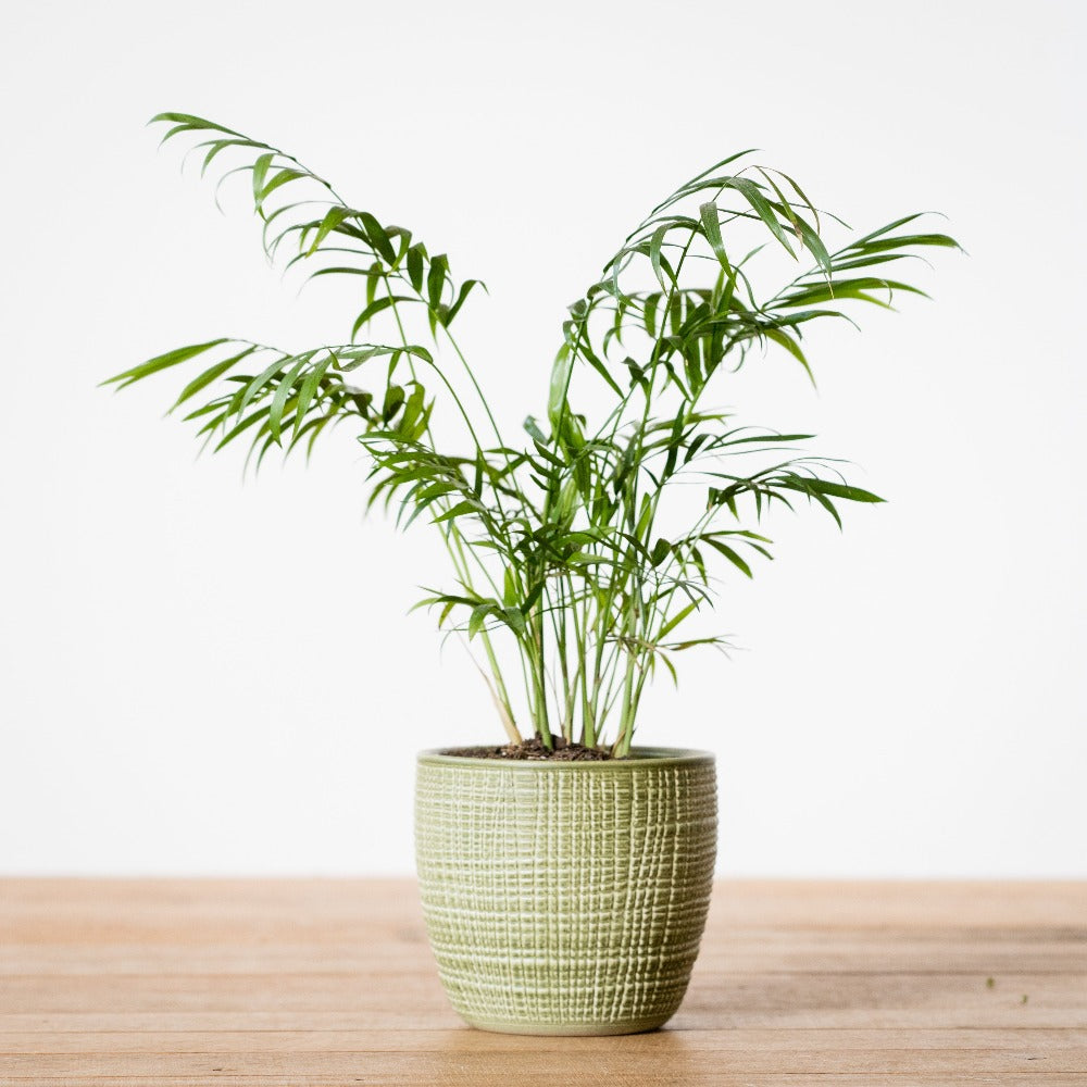 Potted Palm golden cane