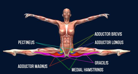 kinesiological stretching side splits adductors flexibility
