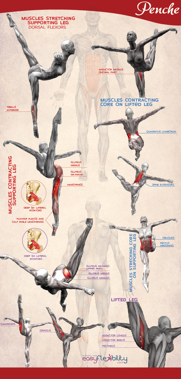 penche ponche flexibility strength anatomy muscles infographic easyflexibility kinesiological stretching ballet training
