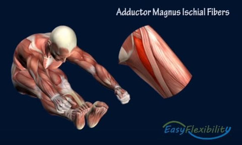 gymnastics kip kinesiological stretching muscles adductors
