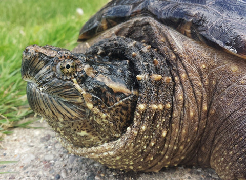 Snapping turtle on land