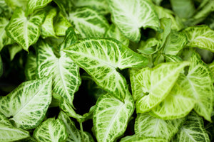 Arrowhead Plant - Syngonium Care