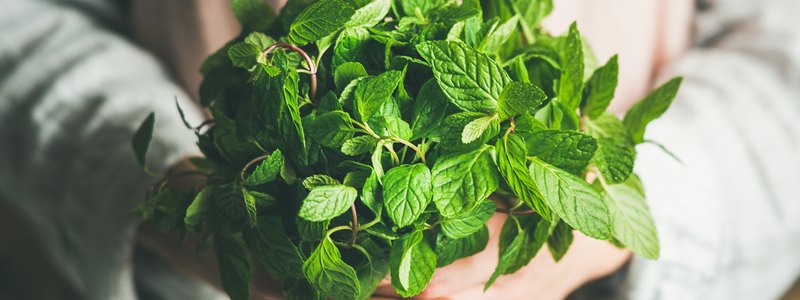Organic Peppermint Tea: Grown in the USA