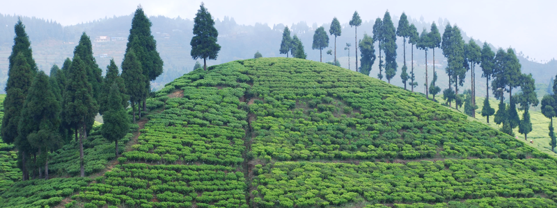 Organic Darjeeling Tea: A distinctive black tea