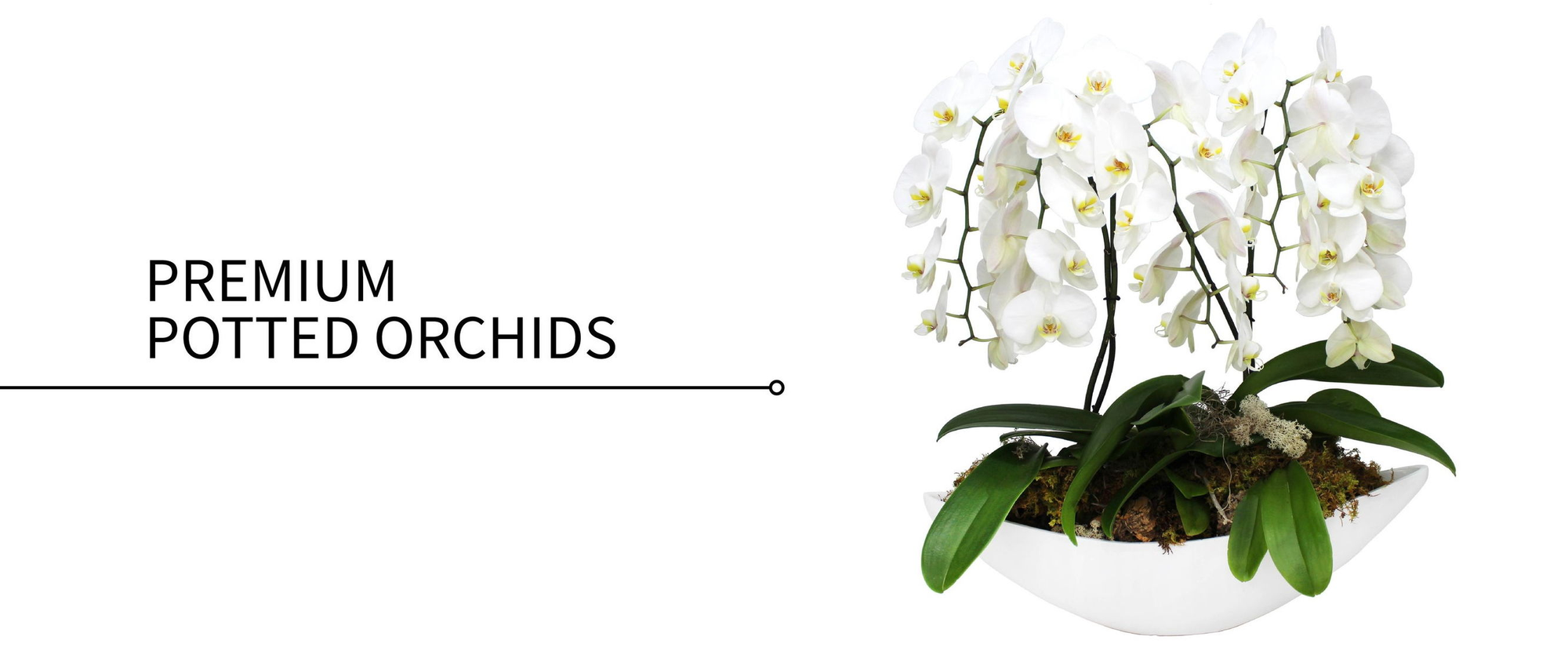 Premium Potted Orchids