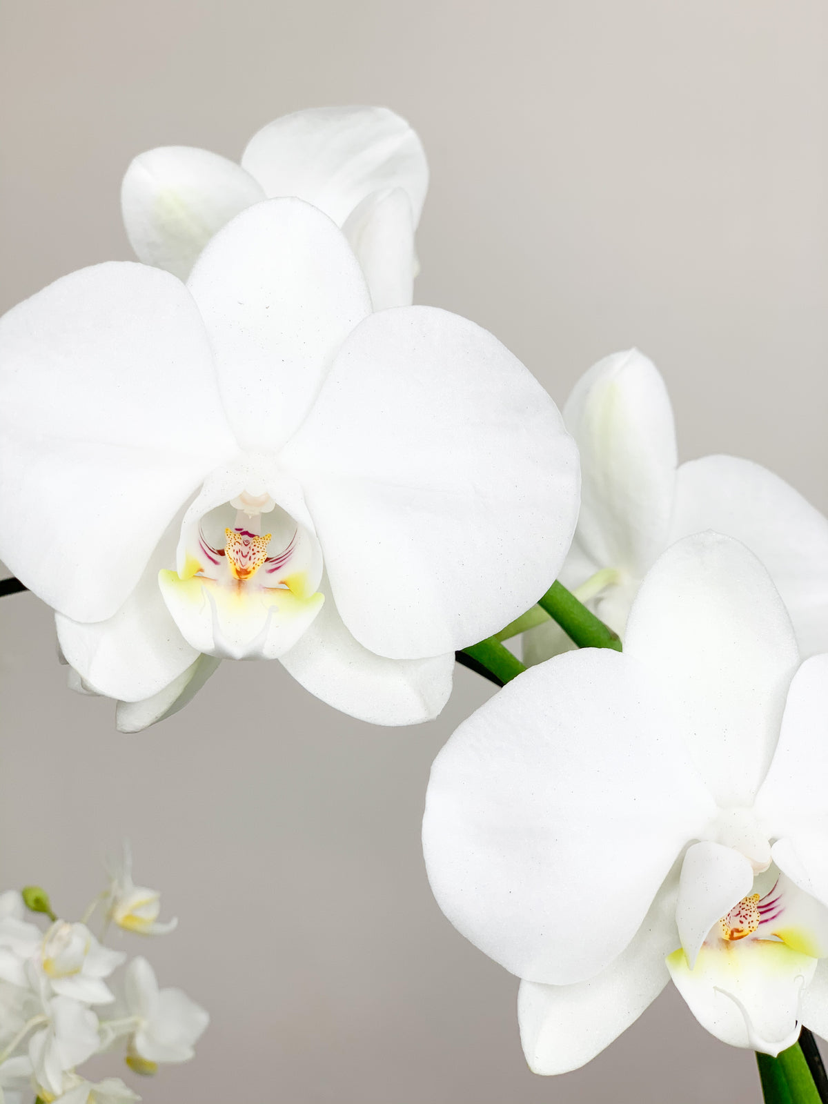 Infinity Orchid