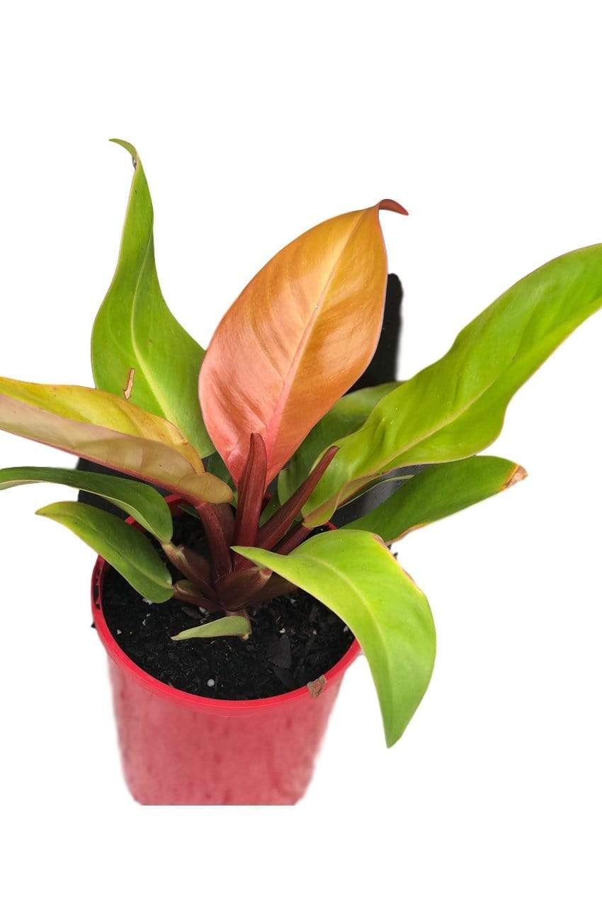 Philodendron Prince of Orange - Australia Only