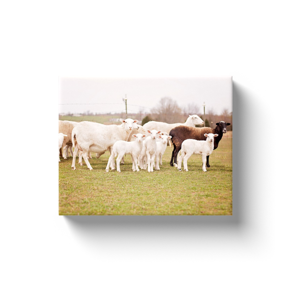 Baa Baa Black Sheep Canvas Wrap