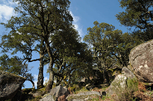 Cork Oak Forest Canopy | YogurtNest