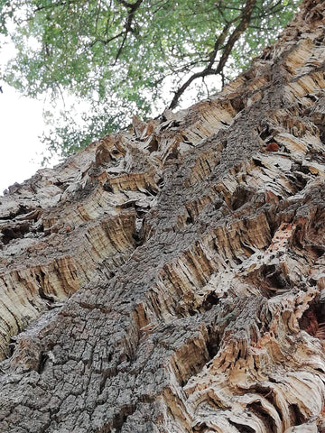 Cork bark on the Portuguese Cork Oak Tree, ready for harvesting